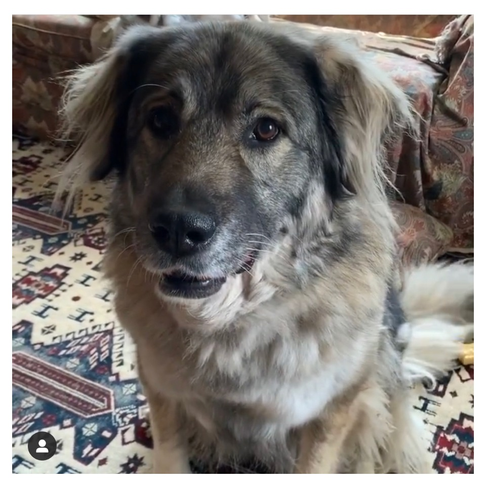 Elsa, our Caucasian Shepherd/Russian Bear dog rescue from Sarajevo